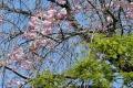 20200326学内の春 (03)